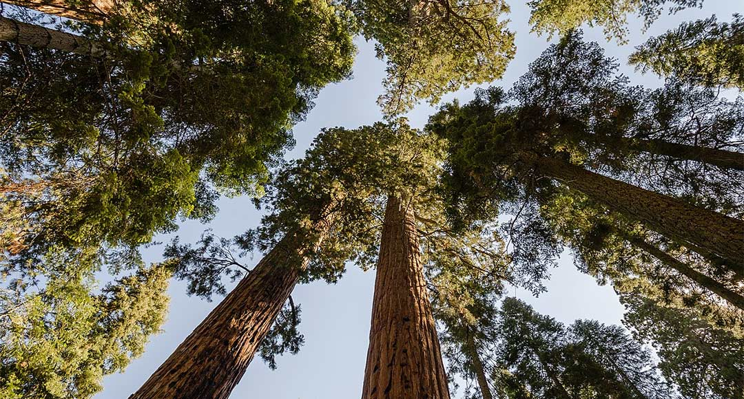 Looking up into the canopy of Giant Redwood trees