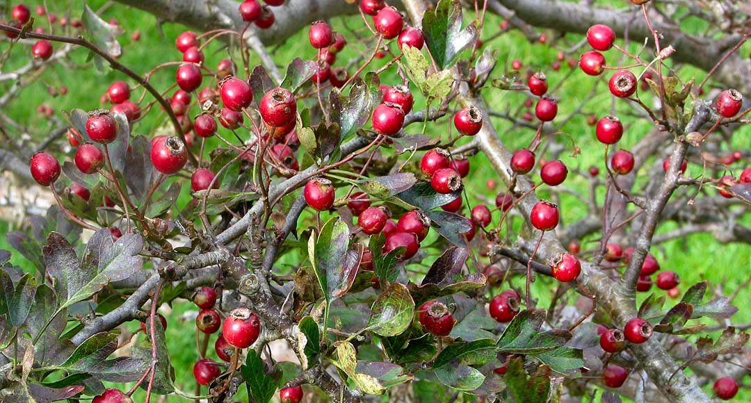 Ripe hawthorn berries in a hedgerow