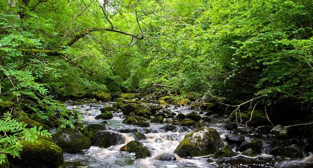 Ash and hazel woodland growing along an Irish river